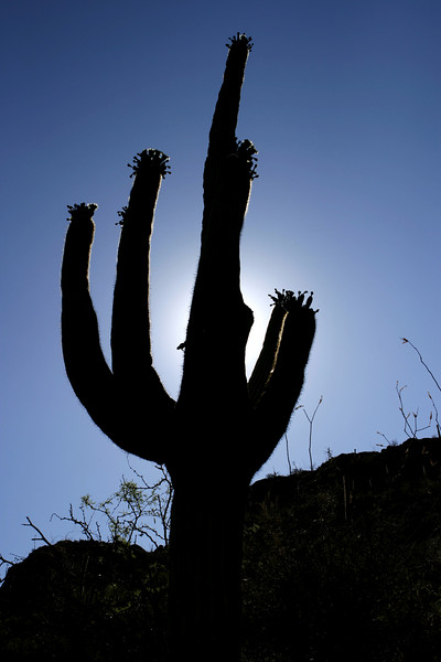 A saguaro cactus outlined against the sky with the sun immediately behind it