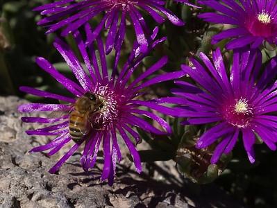 Bee On Magenta