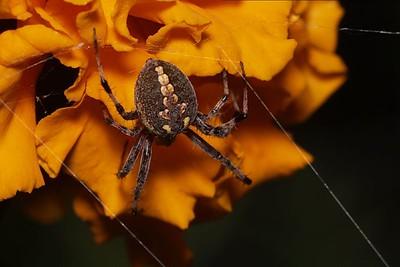 Mystery Spider renamed Bobbette :-)
