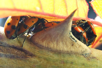Lady Bug Orgy