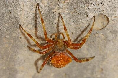 Halloween Arachnid