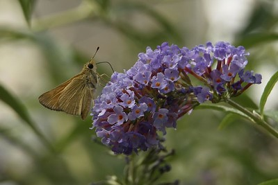 moth or butterfly on butterfly bush
