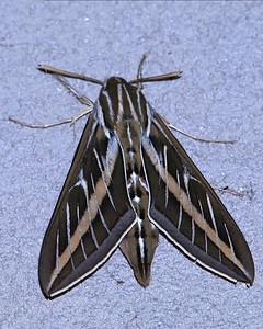 Hummingbird Moth...I think