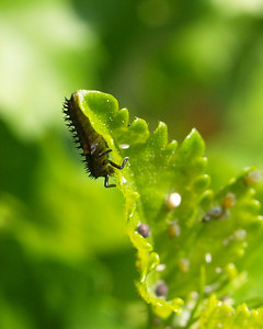 Lady Beetle Larvae at the Aphid Buffet