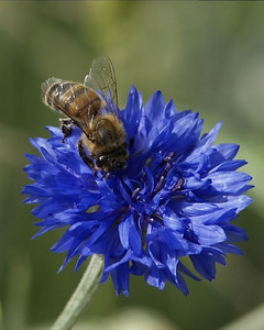 Bee-yond Blue