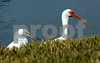Backyard birding in Naples  Snowy Egret and White Ibis