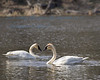 Lake Maria SP Swans