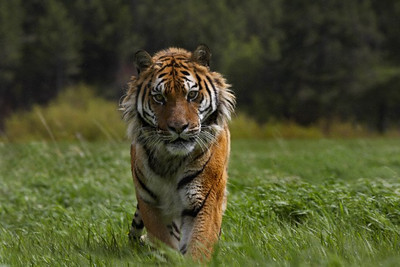 Tigers for chapter 4