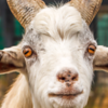 why-goats-have-weird-eyes