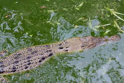pet crocodile. notice the feathers in the water. he gets fed live chickens. crocodiles are the national symbol of timor