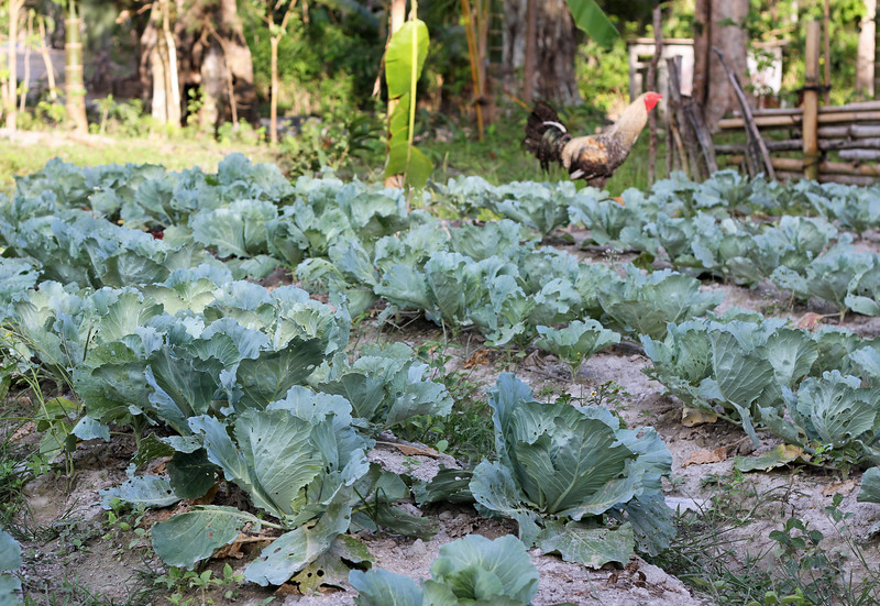 cabbage in rural ainaro district