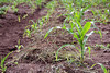 "using ""green manure"" to preserve soil moisture"