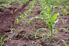 "using ""green manure"" to preserve soil moisture"
