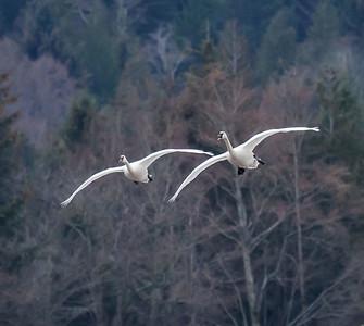 Trumpeter Swans - Comox Valley, B.C.