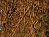 vines on oak trunk