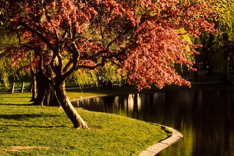Public Garden, Boston, Mass. Canon T-90, Tamron 35-210mm, Kodachrome 64.