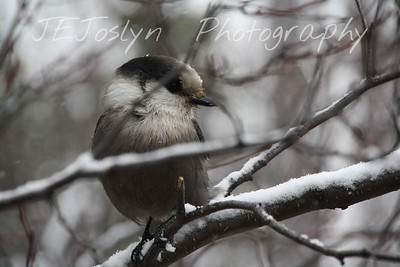 Gunflint Trail area, Minnesota   Grey Jay - Perisoreus canadensis, near Swamper Lake