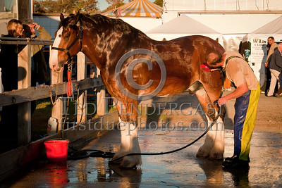 A Clydesdale gets a bath at the Topsfield Fair 2010