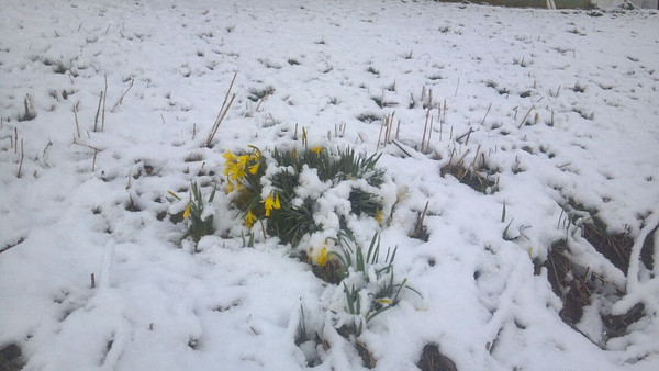 Daffodils blooming in the snow.  Monday morning.