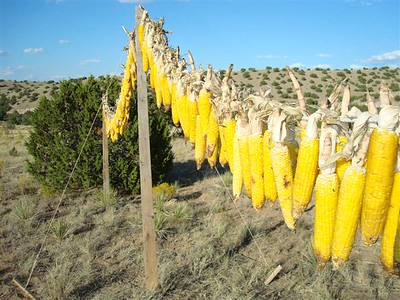Corn hangs out to dry for a week and then is stored for use throughout the year in healthy Native stews.