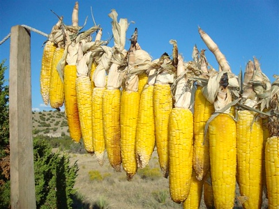 Roasted sweet corn, braided and hung to dry during crisp sunny fall days.