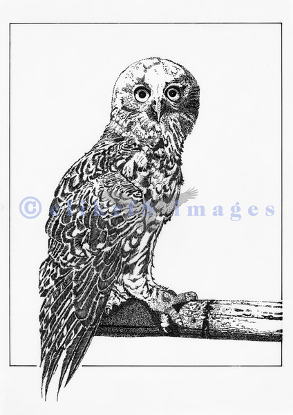 During a layoff from ARCO in the winter of 1981, I returned to school to study B&W drawing. Madge Gleeson should have been there when I was a freshman art major in 1966. This technical pen drawing on acetate of an owl was one of the projects we were assigned.