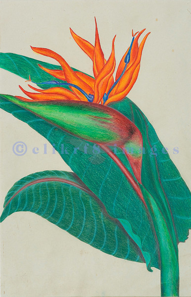 An assignment at a local private art school using colored pencil. This was drawn from an arrangement of Bird of Paradise.