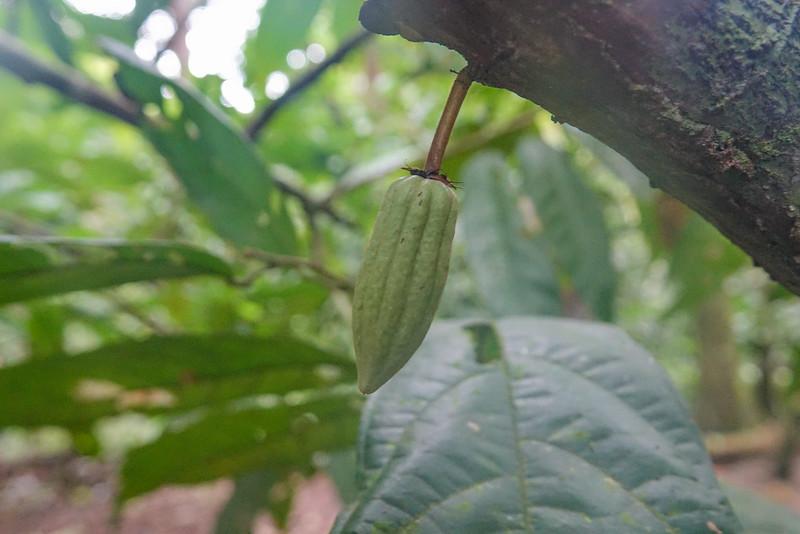 Chocolate fruit bud