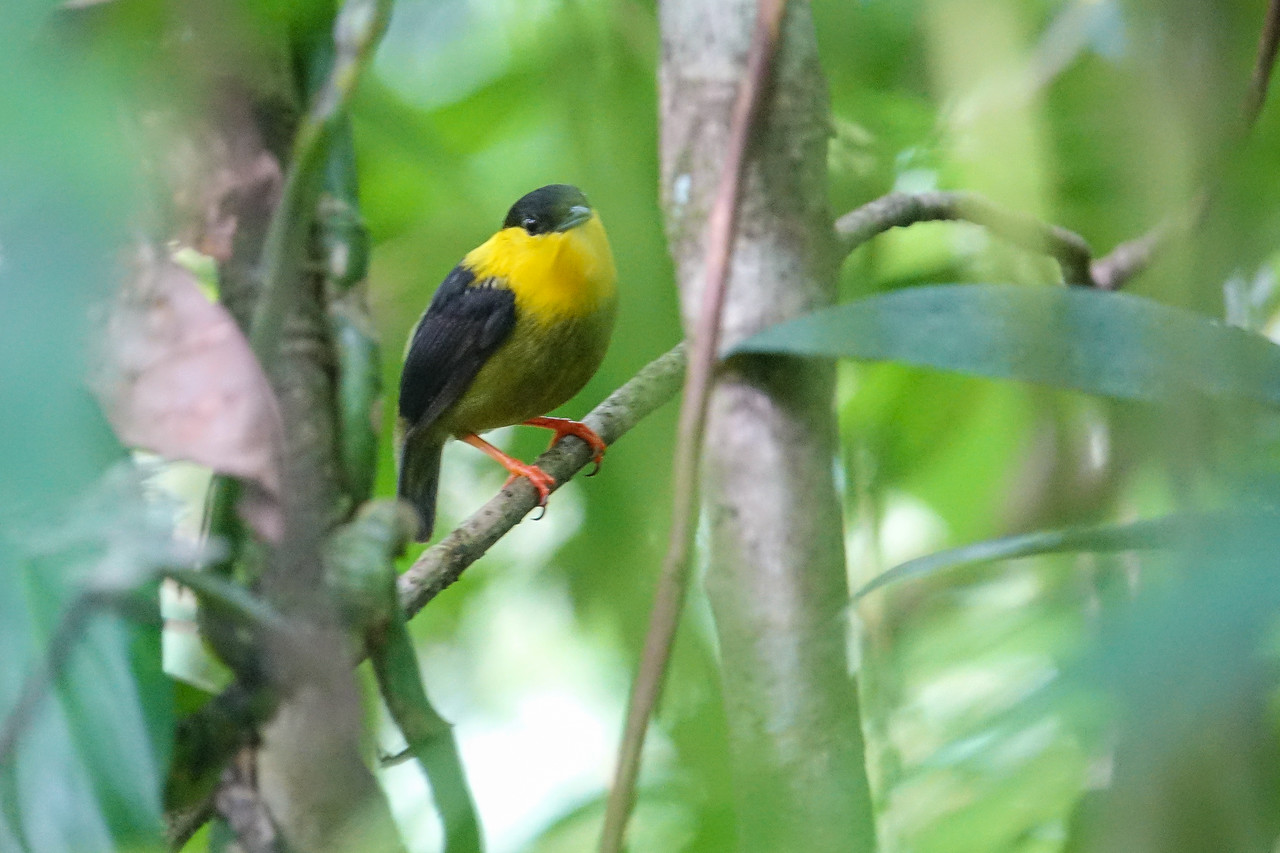 Golden-collared Manakin, Tranquilo Bay Lodge