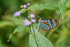 Glasswinged Butterfly near the divide