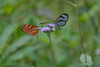 Both species of Glasswinged butterfly