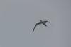 Red-billed Tropicbird, Swan Island