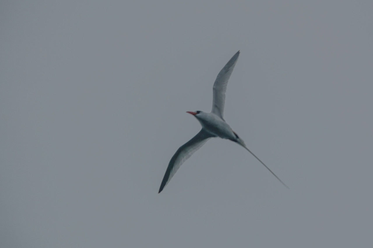Red-billed Tropicbird, Swan Island