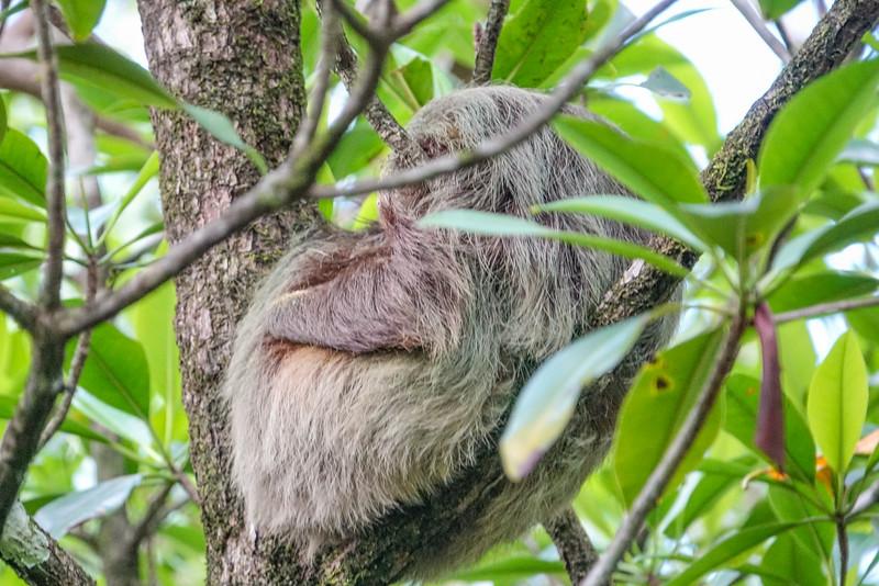 Sloth, Tranquilo Bay Lodge, Bocas del Toro, Panama