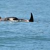 Kenai Fjords Tour - Orca whales
