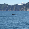 Kenai Fjords Tour - Two humpback whales