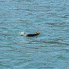 Kenai Fjords Tour - Sea Otter