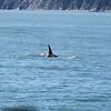 Kenai Fjords Tour - Orca whale
