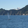 Kenai Fjords Tour - Humpback whale surfaces and blows