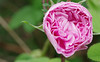 Kleenex rose?