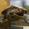 "Snapping turtle. <br><span class=""skyfilename"" style=""font-size:14px"">2016-05-15_boston_0011</span>"