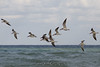 A flock of Black Skimmers.