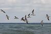 A flock of Black Skimmers.