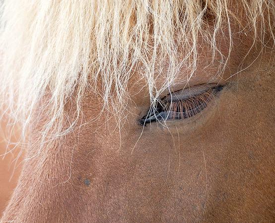 Icelandic Horse #1