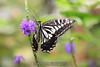 Butterfly. 7/1/09
