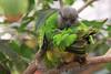 Parrot. 7/1/09