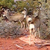 Canyonlands National Park - Deer