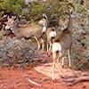 Canyonlands National Park - Deer
