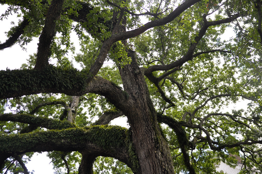 Amazing trees in New Orleans