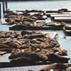Pier 39 sea lions and a few seals